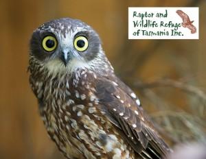 Raptor Refuge Tasmania Postcards: Boobook Owl (2899)
