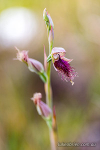 Calochilus paludosus (strap beard-orchid)