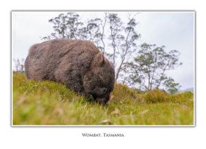 Wombat at Cradle Mountain