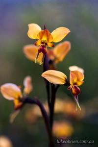 Diuris orientis wallflower orchid