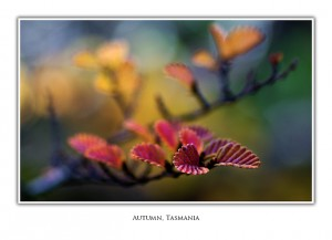 Greeting Card Tasmanian Fagus