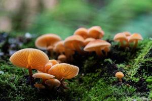 Tasmanian fungi Flammulina velutipes