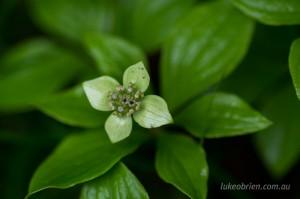 Another Taishakusan flower