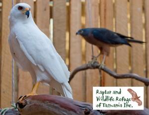 Tasmanian Raptor Refuge Postcards Goshawks