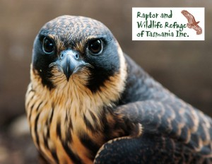 Tasmanian Raptor Refuge Postcards: Hobby (2486)