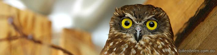Boobook Owl: Raptor Refuge