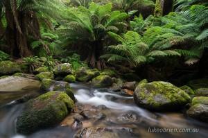 Rainforest near St Columba Falls, north east Tasmania