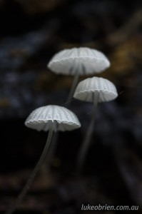 Tiny little toadstools, north east Tasmania