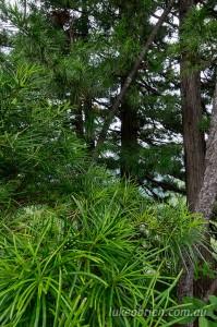 Japanese Umbrella Pine (Kouyamaki) - foilage