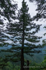 Japanese Umbrella Pine (Kouyamaki) on Mezashidake in Fukushima