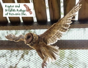 Tasmanian Raptor Refuge Postcards: Masked Owl (1862)