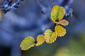 A macro close up of the fagus leaves