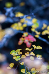 Macro photography Tasmania fagus autumn