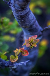 Tasmanian fagus - macro photograph, Cradle Mountain