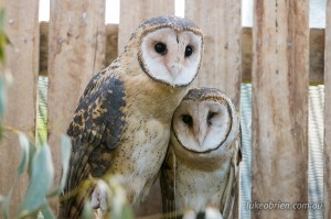 Masked Owls, at Tasmanias Raptor Refuge