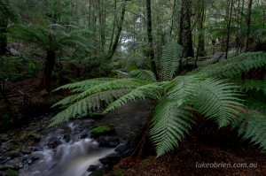 Giant tree ferns downstream of the waterfall