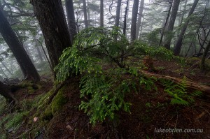 Mt Taishaku, forest and mist, Fukushima