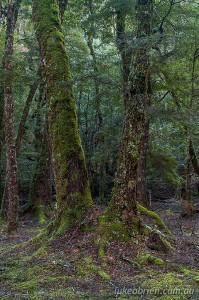 Myrtle rainforest along the river