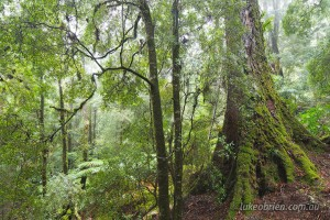 Myrtle rainforest Mt Lindsay, Tarkine