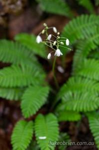 The Osabagusa flower on Mt Taishaku