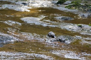 Platypus Tasmania Liffey Falls