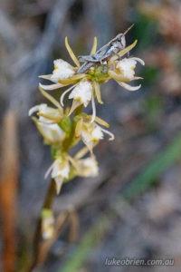 Prasophyllum incurvum, the Horseshoe Leek Orchid