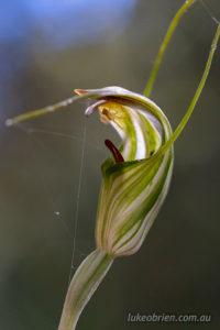 Summer Greenhood, Pterostylis decurva, Tasmanian orchids