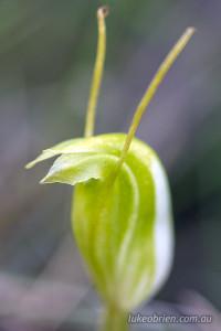 Pterostylis nana (dwarf greenhood)