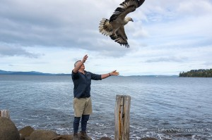 Raptor Refuge Tasmania Sea Eagle Release