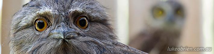 Tasmanian Raptors