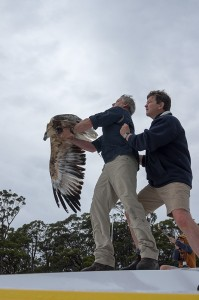 Sea Eagle Release Bruny Island