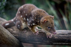 Spotted Tail Quoll Bonorong