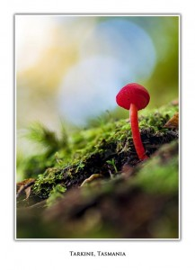 Fungi, Tarkine