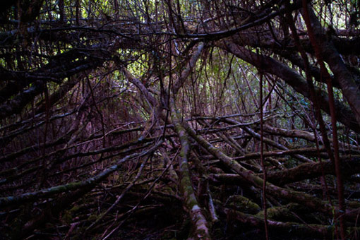 Tarkine Wilderness: Horizontal scrub near Philosophers Falls