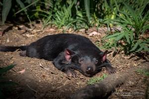 Tasmanian Devil Bonorong Wildlife Park
