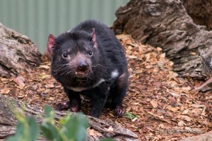 Tasmanian Devil Bonorong Wildlife Park Tasmania