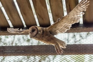 Tasmanian Raptors: Masked Owl in flight