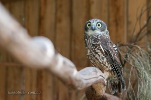 Tasmanian Raptors: Southern Boobook Owl