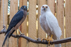 Tasmanian Raptors: Brown Goshawk and Grey Goshawk
