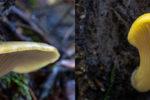 Tasmanian fungi Pleurotus purpureo-olivaceus