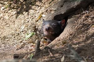Tassie Devil Bonorong Wildlife Park