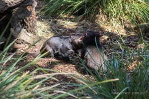 Tassie Devils fighting over food at Bonorong
