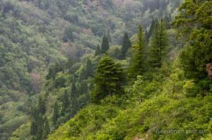 Umbrella Pine Mt Mezashi Fukushima