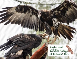Tasmanian Raptor Refuge Postcards-2073