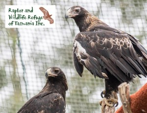 Tasmanian Raptor Refuge Postcards: Wedge Tailed Eagle (2100)