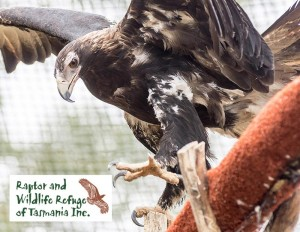 Tasmanian Raptor Refuge Postcards: Wedge Tailed Eagle (2107)