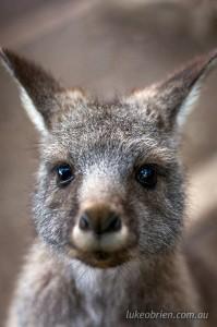 Wallaby Bonorong Tasmania