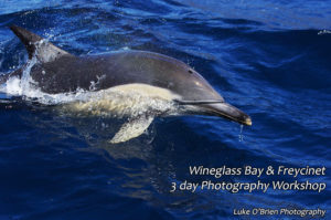 dolphin spotting on the wineglass bay cruise tasmania