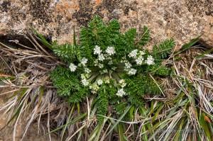 Tasmanian alpine flowers, Mt Ossa