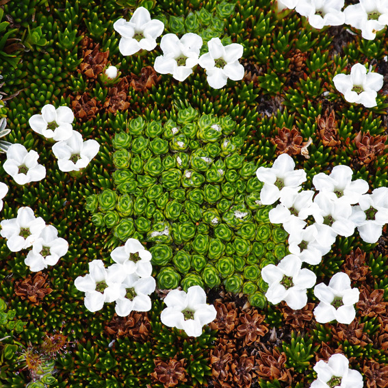 Cushion Plants in flower, Cradle Mountain
